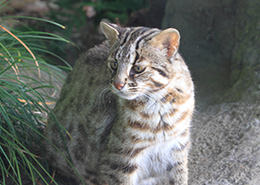 Tsushima Wild Cat – national natural treasure (protected species)