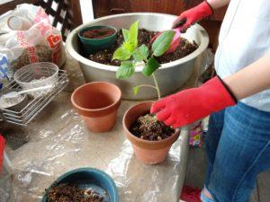 鉢植え体験 鉢植えのコツをお伝えします!