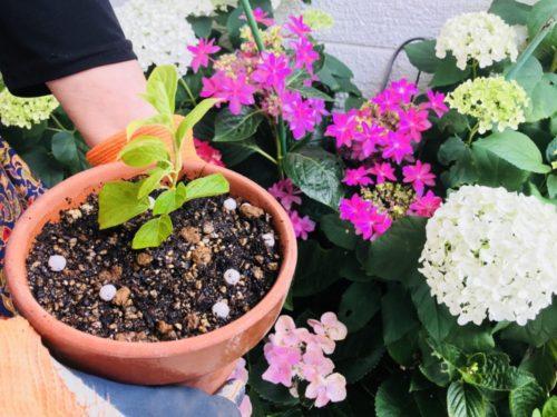 挿し芽・鉢植え体験